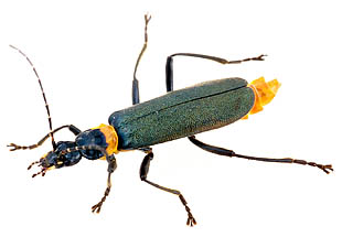 Soldier Beetles Synthesize Fatty Acids For Defense