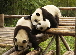 The History Of The Giant Panda Written In Its Genes