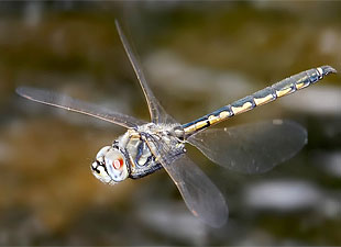 Dragonflies See Things Using On-Off Switches In Their Brains