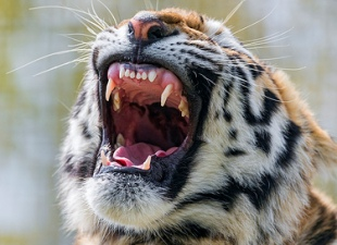 Tiger Genome Reveals How Big Cats Evolved To Kill