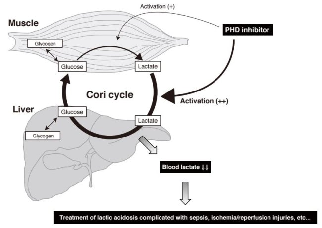 Switching Off PHD2 Helps Mice Survive Lactic Acidosis   Asian ...