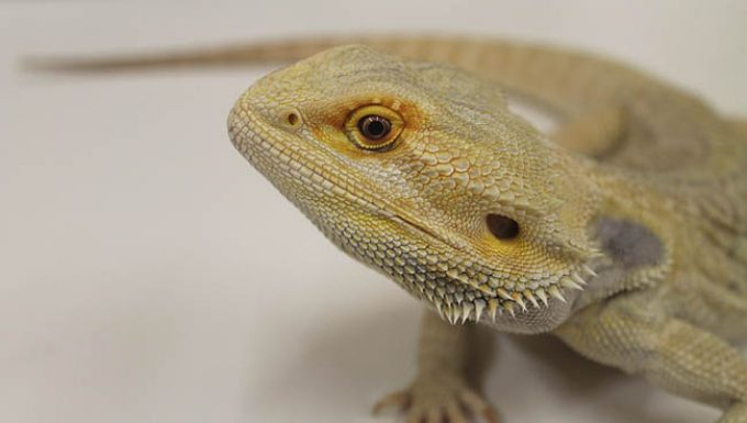 A Bearded Dragon Displays Its True Colors On Its Neck Or Back