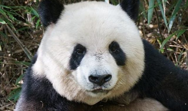 Saving The Pandas Is Worth Every Cent