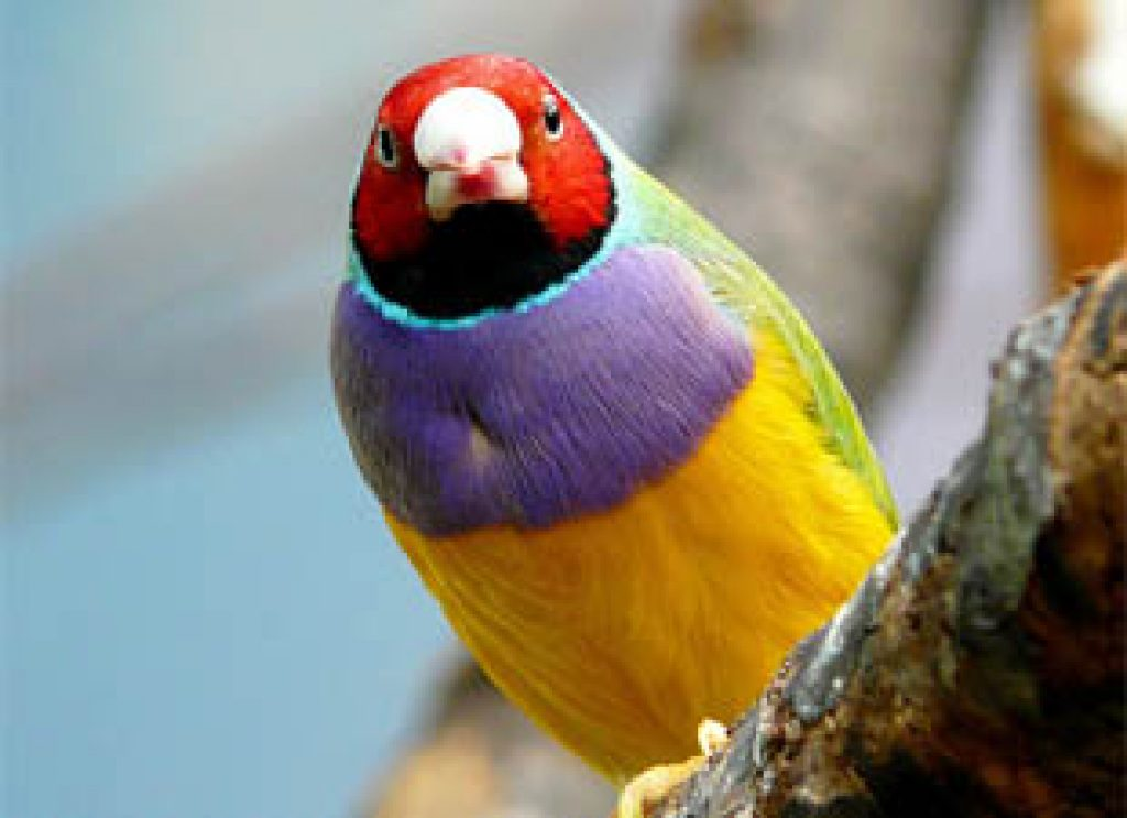 New Study Shows Colorful Bird Populations Evolve Faster ...